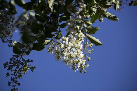 Crepe myrtle blooms against a bright blue sky