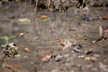 Leopard frog (Lithobates sphenocephalus utricularius) camouflaging in muddy water