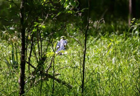 Blue jay (Cyanocitta cristata) perched on a thin bush branch Stock fotó