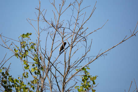 Bobolink bird (Dolichonyx oryzivorus) perched in a bush branch