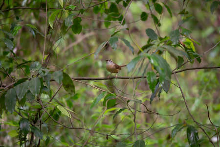 Carolina wren (Thryothorus ludovicianus) with an insect on a bush branch Stock fotó