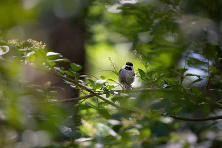 Black-capped chickadee (Poecile atricapillus) foraging a green leaf from a shrub Stock fotó