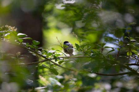 Black-capped chickadee (Poecile atricapillus) landing on a shrub