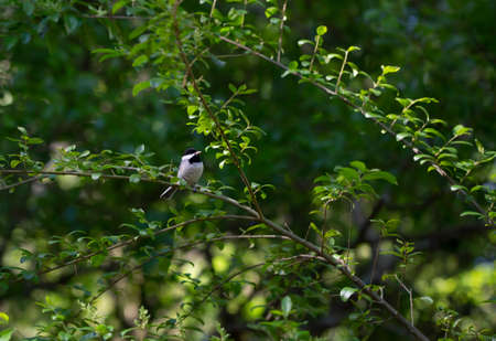 Black-capped chickadee (Poecile atricapillus) perched on a bush branch Stock fotó