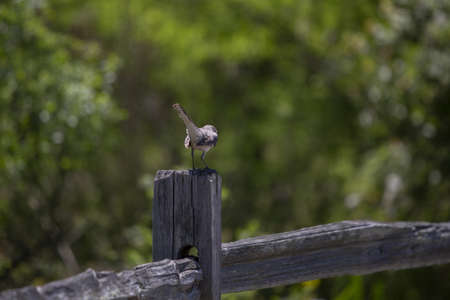 Northern mockingbird (Mimus poslyglotto) perched on a fence post