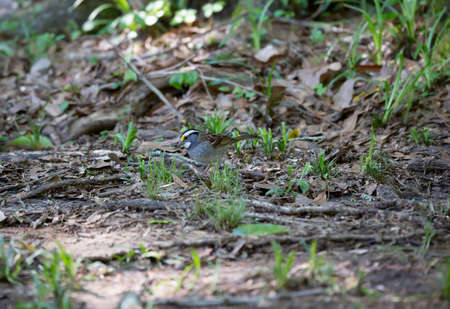 White-throated sparrow (Zonotrichia albicollis) foraging in the dirt