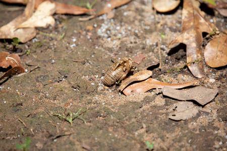 Empty cicada shell (Cicadoidea) in the dirt near dead brown leaves
