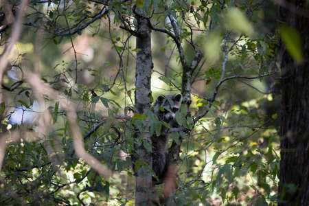 Raccoon (Procyon lotor) looking down from the safety of a tree