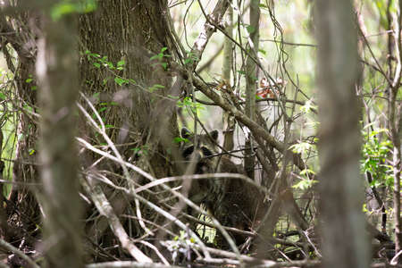 Raccoon (Procyon lotor) hiding in the foliage in a creek