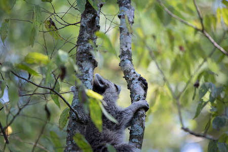 Raccoon (Procyon lotor) climbing up a tree for safety