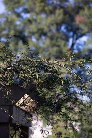 Bramble growing off the edge of gazebo awning Stock Photo