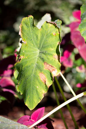 Large green leaf of an elephant ear plant