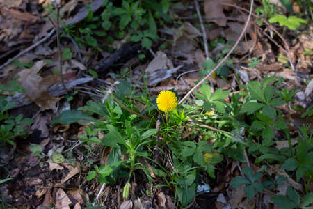One yellow dandelion (Taraxacum) blooming among green weeds