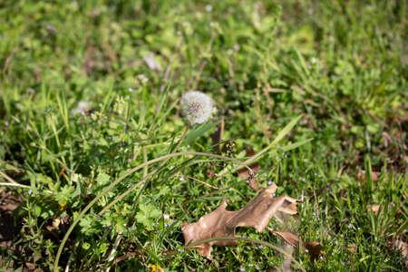 Single dandelion clock (Taraxacum) growing in a green lawn
