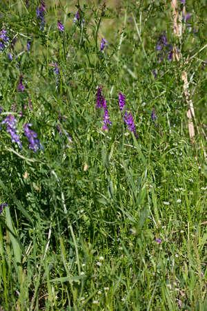 Purple foxglove flowers (Digitalis purpurea) growing in tall meadow grass
