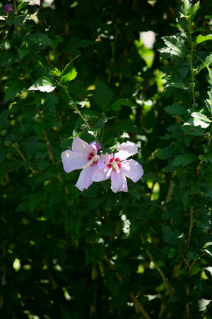 Pair of blooming hibiscus flowers on a flourishing bush