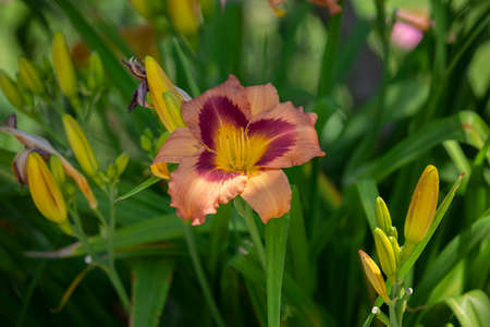 Healthy peach daylily blooming in a lush flowerbed