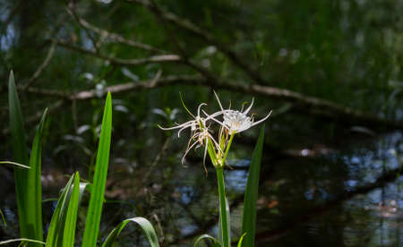 Spider lily flowers (Lycoris radiata) at the edge of a swamp