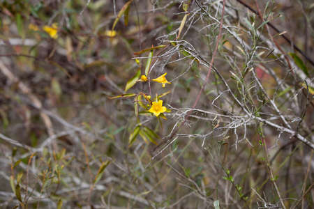 Yellow bell flowers in bloom hanging on a vine through scrubby foliage 版權商用圖片