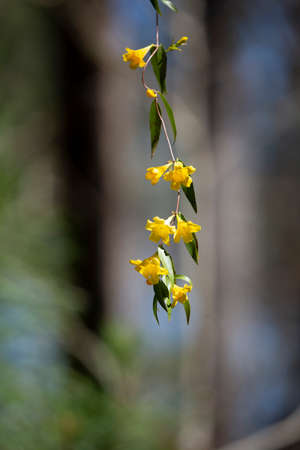 Yellow bell flowers hanging from a green vine 版權商用圖片