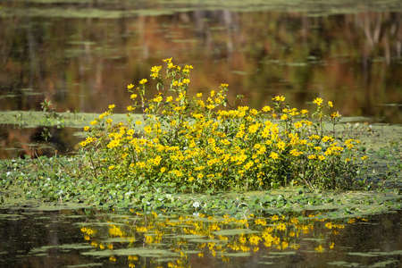 Patch of yellow wildflowers in the middle of a small lake 版權商用圖片