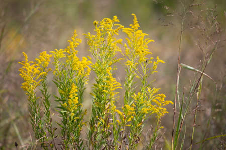 Bouquet of goldenrod plant (solidago) in an overgrown meadow