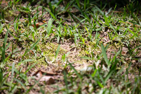 Freshly trimmed grass growing around a bare spot that is just beginning 版權商用圖片