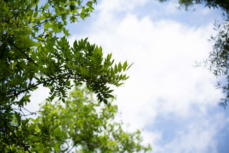 Leaves of tree jutting out into a cloudy,  blue and white sky 版權商用圖片