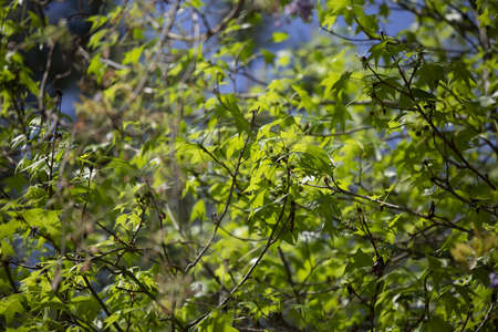 Thick green leaves from a sweetgum tree (Liquidambar)
