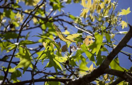 Dark green and deep yellow leaves against a pretty, blue sky 版權商用圖片