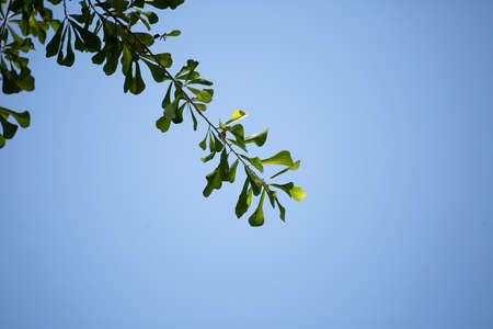 Close up of green, water oak leaves (Quercus nigra) jutting into a blue sky