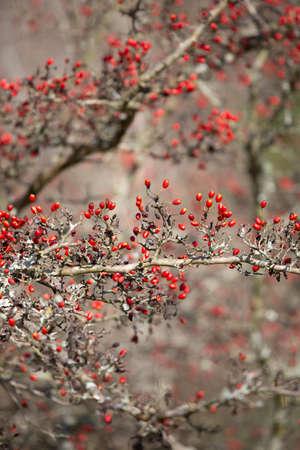Red seeds growing on a parsley hawthorn tree (Crataegus marshallii)