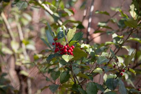 Branch of American holly (Ilex opaca) berries and leaves 版權商用圖片