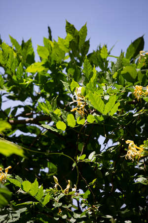 White and yellow honeysuckle) blooms both blossoming and about to blossom 版權商用圖片