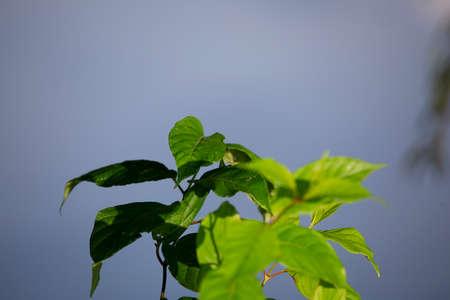 Healthy green-leafed semi-aquatic plant growing near a water source 版權商用圖片