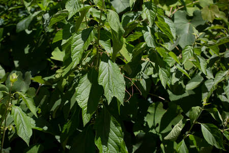 Close up of green, summer leaves on a bush 版權商用圖片
