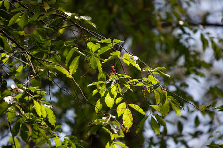 Close up of pretty green leaves and reddish berries during the summer