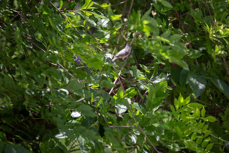 Tufted titmouse bird (Baeolophus bicolor) perched on a bush vine