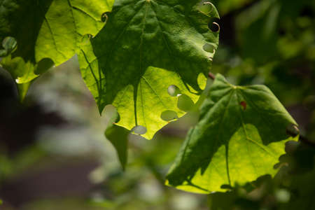 Healthy green leaves with holes along the edges