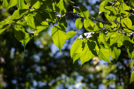 Vibrant green leaves hanging from tree branches on a blue day