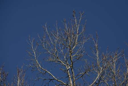 Bare sweetgum tree (Liquidambar) with stickers but no leaves 版權商用圖片