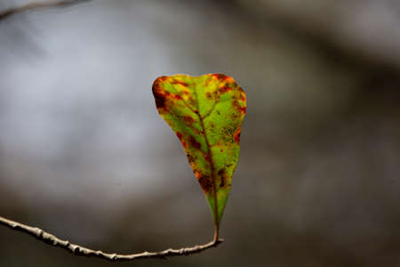 Close up of a damaged, browning water oak (Quercus nigra) leaf 版權商用圖片