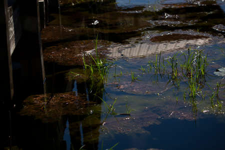 Grass growing out of lily pads just below the surface of a lake