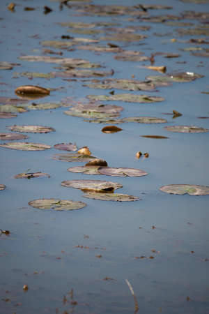 Lily pads scattered throughout the surface of a lake 版權商用圖片