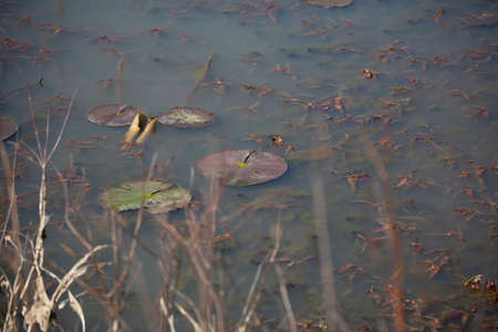Five lily pads in a cluster with one closed