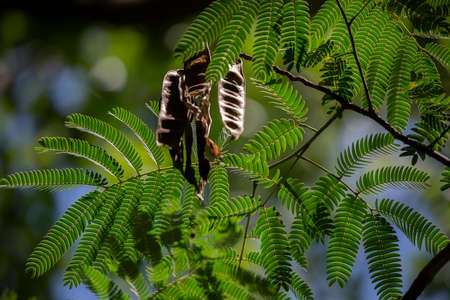 Mimosa tree (Albizia julibrissin) leaves and seed pods