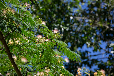 Mimosa tree (Albizia julibrissin) with bright pink blooms