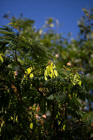 Batches of seed pods on a mimosa tree (Albizia julibrissin)