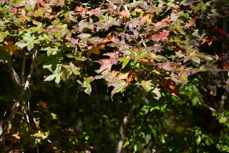 Sweetgum (Liquidambar) leaves changing from green to yellow to red in the fall 版權商用圖片