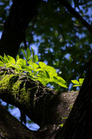 Vine of leaves growing on a tree limb with moss